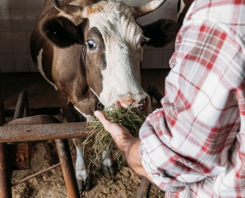farmer feeding cow with hay in stall