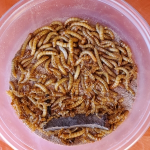 Mealworms 150-Count