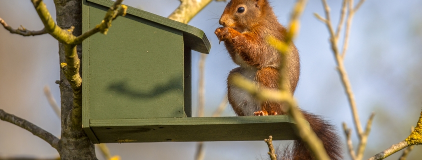Red squirrels eating on feeder