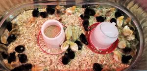 baby-chicks-brooder