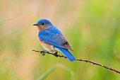 Birdwatching in Missouri - Eastern Bluebird