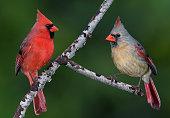 Birdwatching in Missouri - Cardinals
