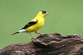 istockphoto goldfinch