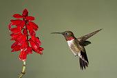istockphoto hummingbird