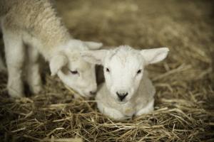 Newborn lambs, two white lambs in a lambing stall.