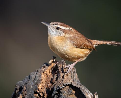 Carolina Wrens and Eastern Bluebirds